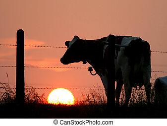 シルエット, 牛