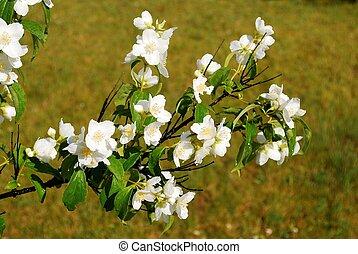 ジャスミン, 草, 美しい, 花
