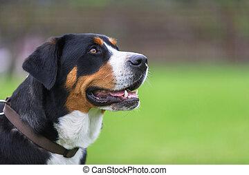 スイス人, 山, より大きい, 犬