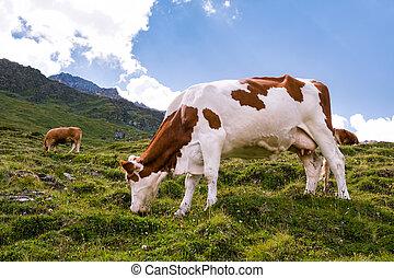 スイス人, 牧草, 牛, アルプス