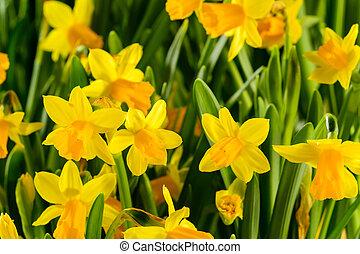 スイセン, 春の花, 黄色
