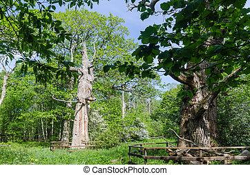 スウェーデン語, 古い, 自然, 囲われる, オーク, 木, 保護される, 予備