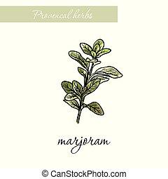 スケッチ, 自然, marjoram., herbs., 白, スパイス