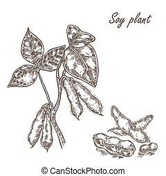 スケッチ, set., スタイル, イラスト, ベクトル, soybean., 大豆, 小枝