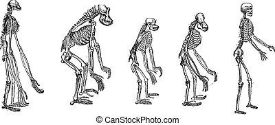 スケルトン, スケルトン, サル, 人間, 比較, 最も大きい, 彫版, 型