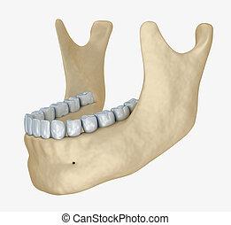 スケルトン, 医学, anatomy., 3d, より低い, あご, 歯, イラスト, 正確