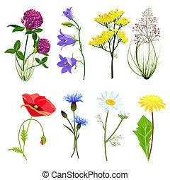 スタイル, キンポウゲ, セット, 牧草地, アニス, 野生の花, コレクション, ベクトル, herbs., 植物, 漫画