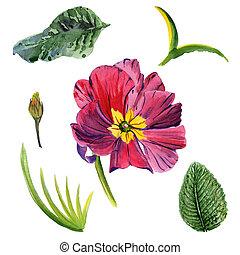 スタイル, 花, isolated., 水彩画, 野生の花, ビオラ