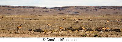 ステップ, lamas, 群れ, patagonia