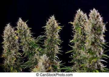 ステージ, ディーゼル, 遅く, 花が咲く, インド大麻, strain), 目に見える, コーラ, trichomes, (sour, マリファナ