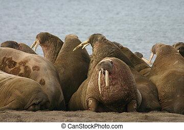 セイウチ, 中に, ∥, 高く, 北極である, のまわり, svalbard