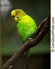セキセイインコ, かわいい, わずかしか, 鳥