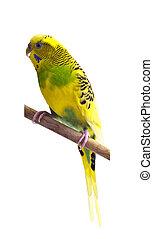 セキセイインコ, 緑, 黄色