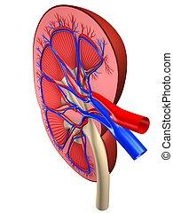 セクション, -, 交差点, 腎臓