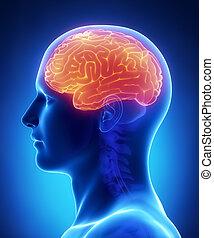 セクション, -, 交差点, 解剖学, 脳, 大脳