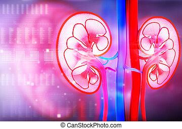 セクション, 人間, 腎臓, 交差点