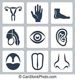 セット, 生殖, アイコン, システム, vetor, 外部である, 器官