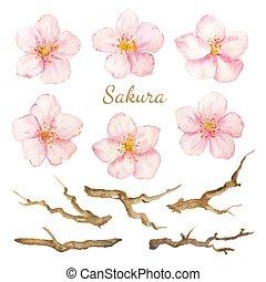 セット, elements., branches., コレクション, 水彩画, ベクトル, sakura, 花