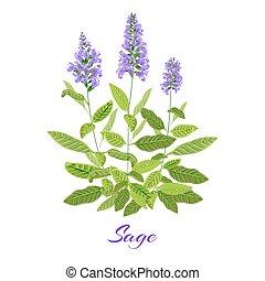セージ, 花が咲く, herb.