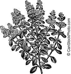 タイム, 型, 胸腺, breckland, serpyllum, ∥あるいは∥, engraving.