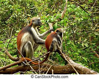 タンザニア, ヒヒ