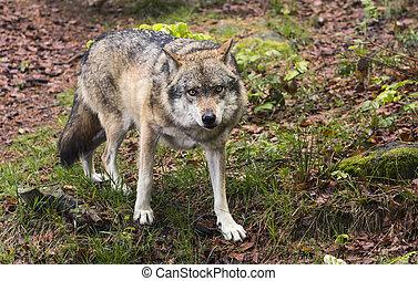 チェコ共和国, lupus, ヨーロッパ, 狼, europaeischer, canis