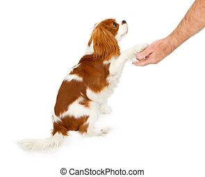 チャールズ spaniel 無頓着な 王, 犬, 揺れている手