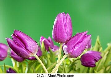 チューリップ, ピンクの花, 鮮やか, 緑の背景
