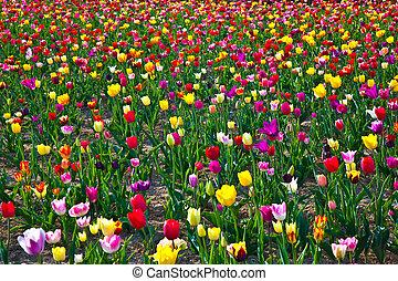 チューリップ, 咲く, カラフルである, フィールド