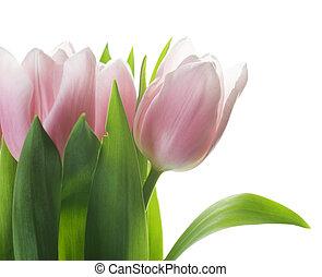 チューリップ, 春, 束, 美しい