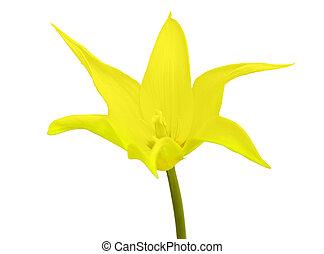 チューリップ, 白い背景, 隔離された, 黄色