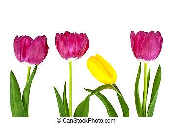 チューリップ, 白い花, 隔離された, 背景