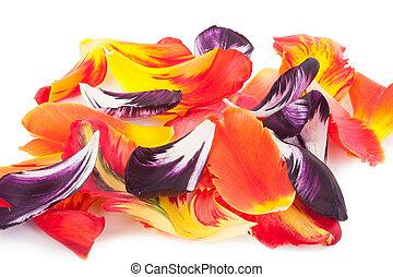 チューリップ, 花弁