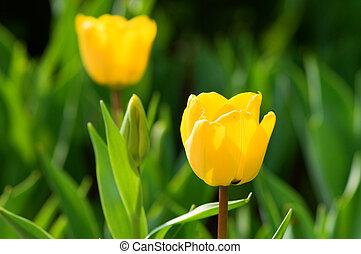 チューリップ, 花