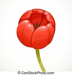チューリップ, 隔離された, 背景, 花, 白い赤, つぼみ