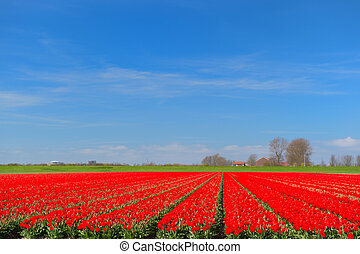 チューリップ, 風景, 赤, オランダ語