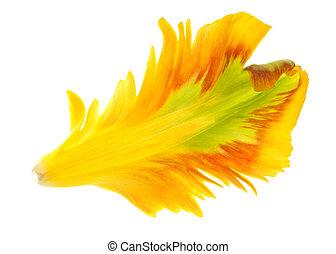 チューリップ, 黄色, 花弁