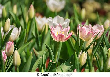 チューリップ, pink-white