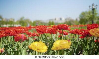 チューリップ, sprind, 黄色, 日光, フィールド, 花が咲く, 花, 赤