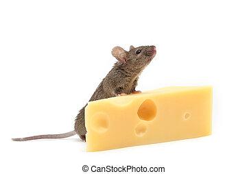 チーズ, 白, マウス, 隔離された