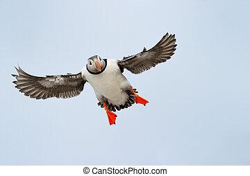 ツノメドリ, 大西洋, flying.