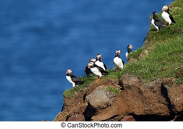 ツノメドリ, latrabjarg, アイスランド, 崖