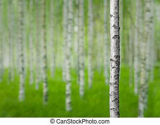 ツリーの森林, シラカバ