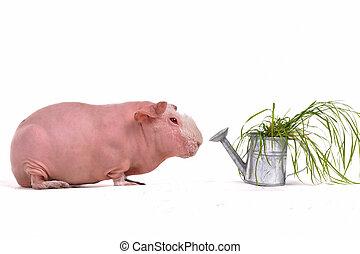 テンジクネズミ, そして, a, 水まき, ポット, ∥で∥, 草