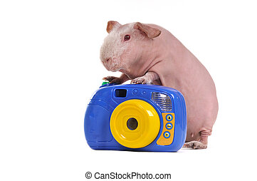 テンジクネズミ, カメラマン