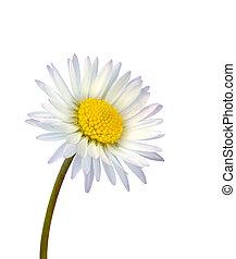 デイジー, 白い花, 隔離された, 共通