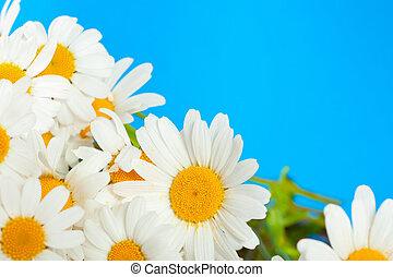 デイジー, 花, 上に, a, 青い背景