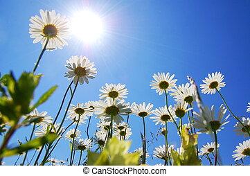 デイジー, 花, 中に, 夏, ∥で∥, 青い空