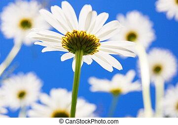 デイジー, 花, 中に, 夏