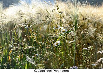 デイジー, 花, 中に, a, ライ麦, フィールド
